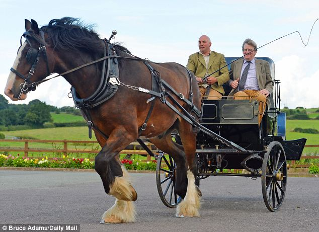 Surprisingly nimble: But given that a pair of Shire horses have been known to pull a load of up to 45 tons, Sovereign would have probably have no problem hauling an entire wedding party of Sumo wrestlers