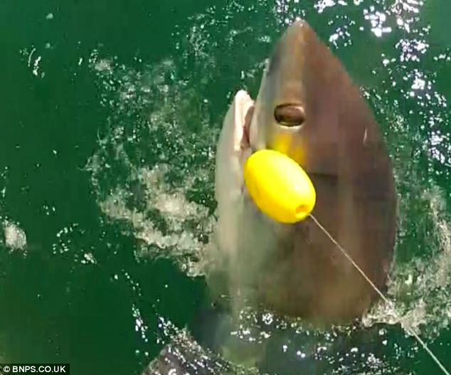 Once bitten: The thresher shark jumped out of the water three times while the men were trying to reel it in