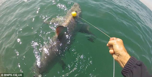Record: The men measured the shark at 14ft in length and 2ft 6in across, and calculated its weight at 550lbs