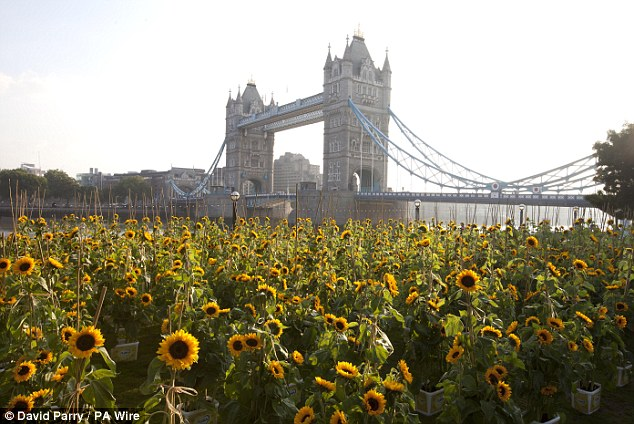 Looking good: Flora celebrated the return of their iconic sunflower logo by creating a field of sunflowers at Potters Fields Park in Central London, with Tower Bridge and the River Thames in the background