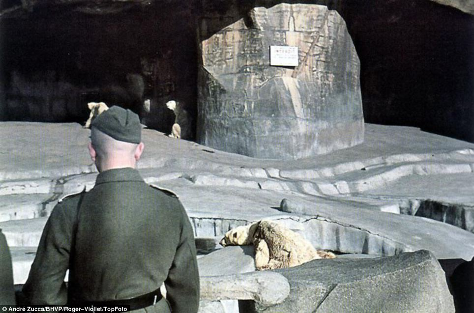 Taking in the sights: A German soldier looks on at lethargic-looking polar bears at the Ménagerie du Jardin des Plantes, Paris's famous zoo