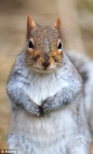 Competition: Grey squirrels, contrary to popular belief, do not 'drive out' reds, but are simply hardier
