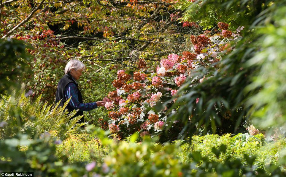 Stunning: A sight-seer admires some colourful trees in Cambridge University Botanic Gardens
