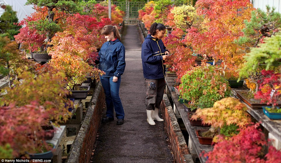 Gardeners prune the bonsai trees at the Heron nursery