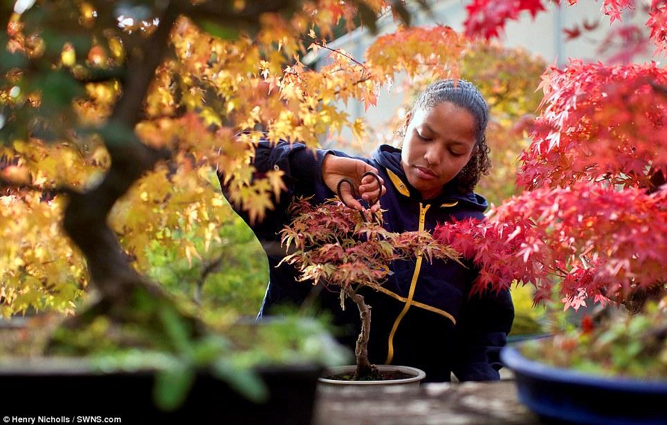 A gardener prunes a bonsai tree at Heron nursery