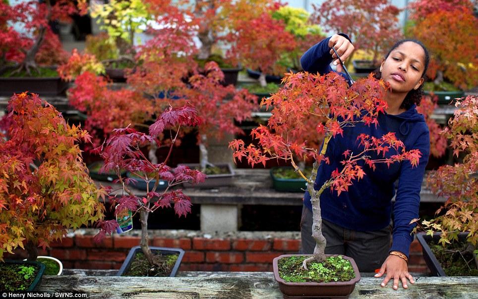 A gardener prunes a tree at the Heron nursery