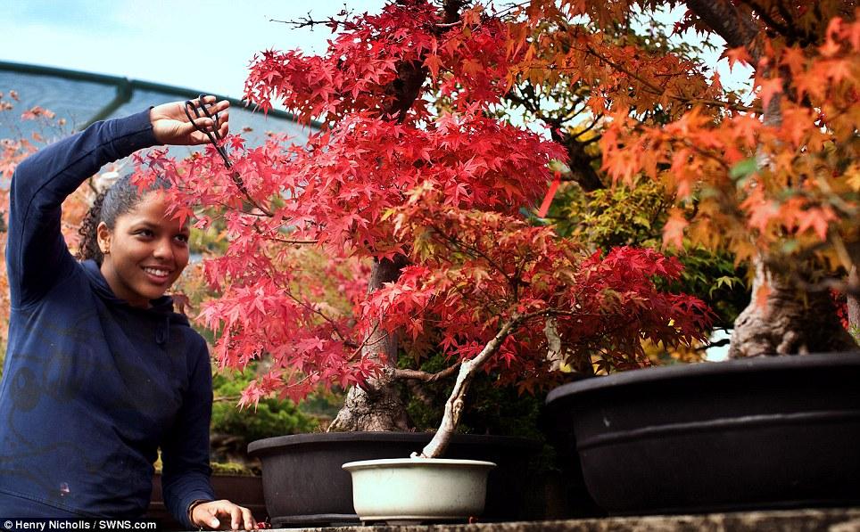 A gardener prunes a bonsai tree in the Heron bonsai nursery
