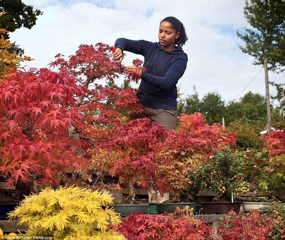 A gardener cuts a bonsai tree at the heron nursery in Surrey