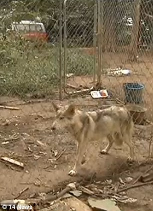 Horrible state: Some of the dogs were locked up in cages while others were free. Most were malnourished and a few were dead