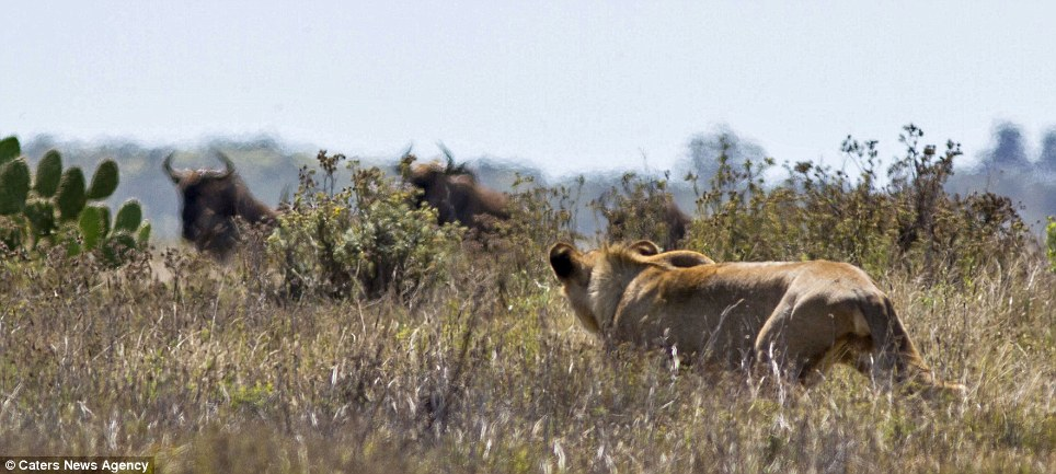 Stalking: The lioness eyes up a couple of buffalo across the grassy plain