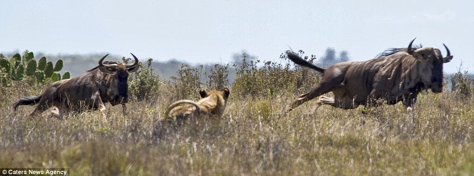 Panic: The buffalo spot the predator and split as one dashes for safety