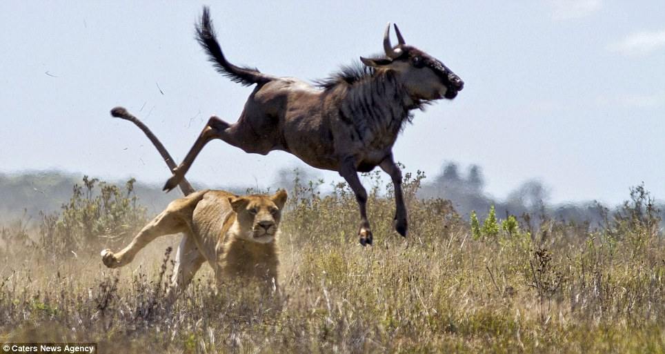 Cleared: The buffalo escapes the lioness' grasp and makes a frantic sprint for safety