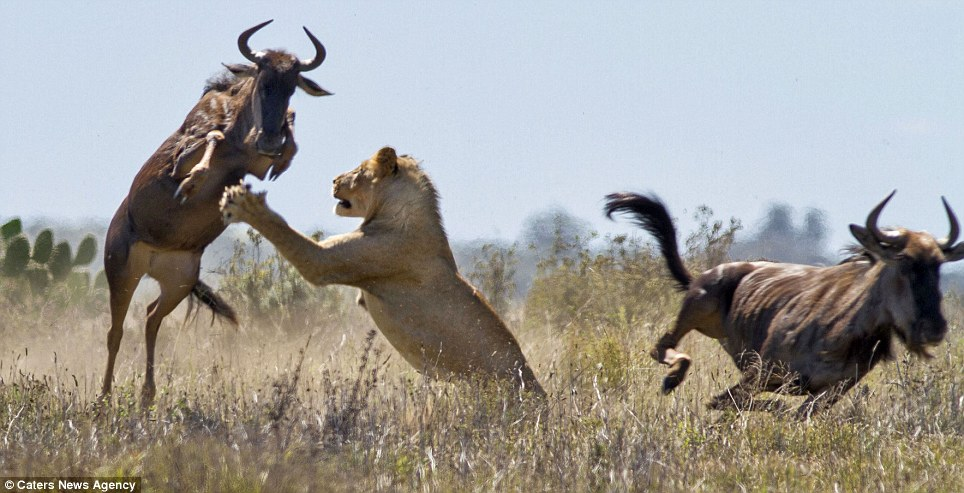 Pounce: The lioness lunges at the terrified buffalo, striking out with a powerful paw, it seems there can be no escape