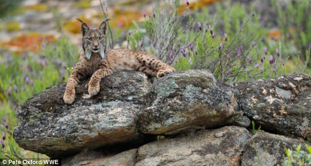 The Iberian lynx (pictured) was limited to the southwestern part of the Iberian peninsula by the mid-1960s
