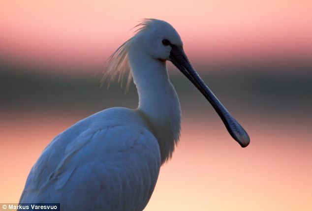 The Eurasian spoonbill (pictured) declined dramatically after the 19th century