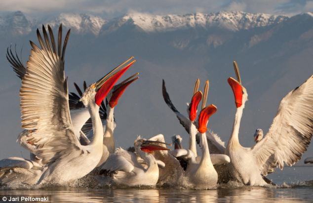 At 16 kilos and with a 3 metre wing span, the Dalmatian pelican is one of the world's heaviest flying birds