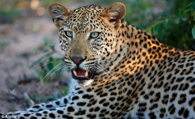 Prey: Leopards were a major predator in the area when ancient peoples were laying the traps
