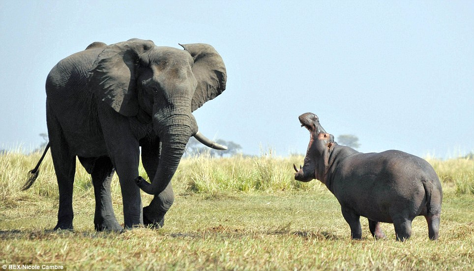 Standoff: A brave hippo squared up to an enormous African elephant when it approached its territory for a drink