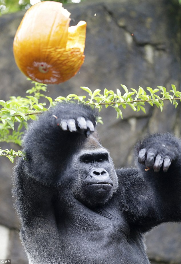 Gorillas love gourds: The Pumpkin Hunt is like trick or treating for the animals. And like any other trick-or-treater, it looks like Jomo has had too many sweets