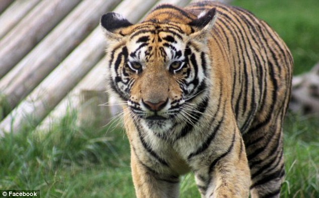 Stable condition: A female employee was mauled by an adult tiger on Saturday but survived the attack and did not lose her arm
