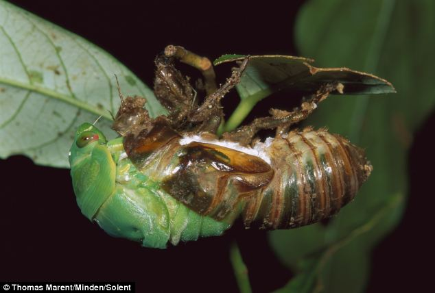 The shocking moment (pictured) when a cicada breaks through its creepy larva shell