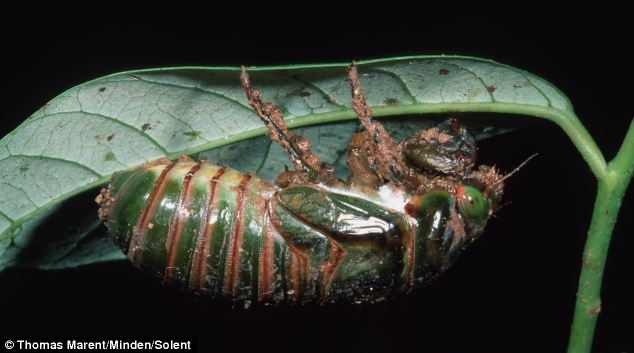 Cicadas live underground as nymphs for most of their lives