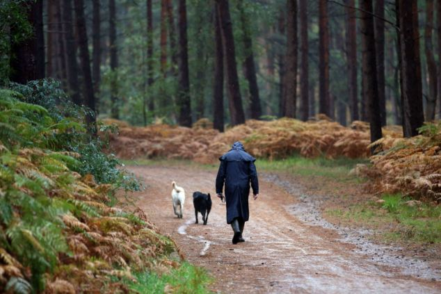 Pouring down: A person walks their dogs during heavy rain in Swinley Forest near Bracknell, Berkshire