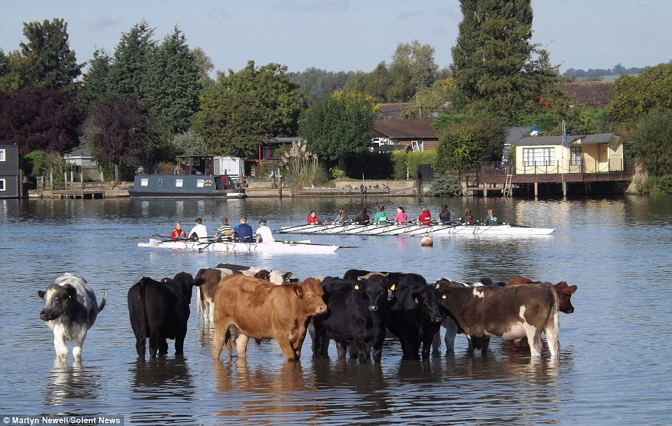 Cows Week! Witnesses joked that the Berkshire rowers must have thought they were competing in the world-famous regatta off the the Isle of Wight