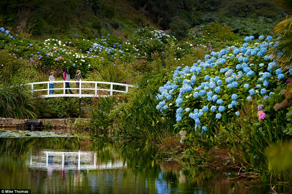 Picture perfect: Visitors to Trebah, near Falmouth in Cornwall. are impressed to see the beautiful Hydrangea Valley is still in full bloom