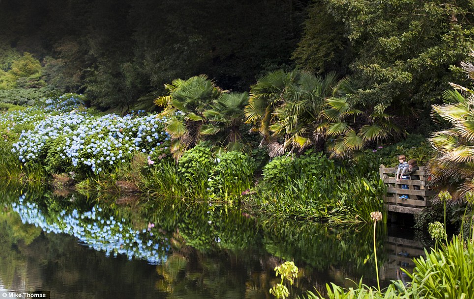 Flower power: Two children visiting Trebah, near Falmouth in Cornwall, look at the impressive Hydrangea Valley