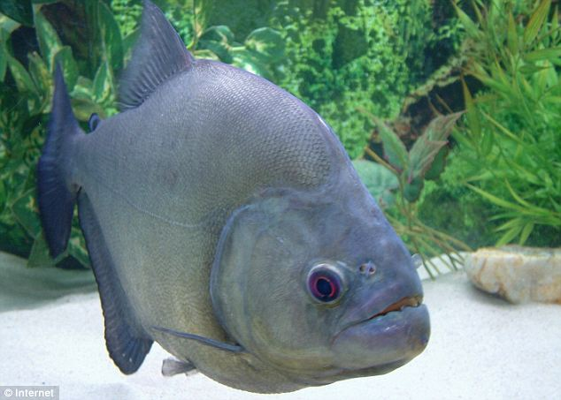 Piranhas, such as the one pictured, are omnivorous meaning they eat plants and meat.