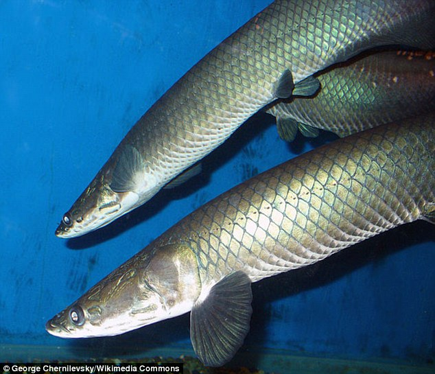 Researchers have discovered the scales of the freshwater Arapaima gigas are made up of stacked spiral staircase-like layers covered in collagen and protected by a hard outer shell.