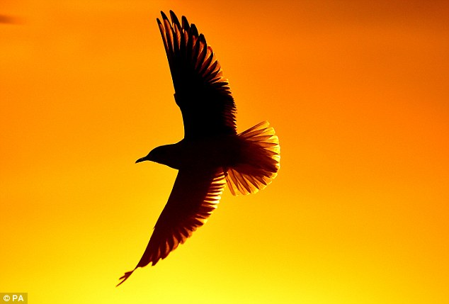 Golden: A seagull flies over Whitley Bay, Tyne and Wear, last night as the seasons change in Britain