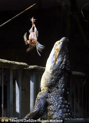 Rex, one of the largest crocodiles in the world, eats his first meal after waking up from three months in hibernation