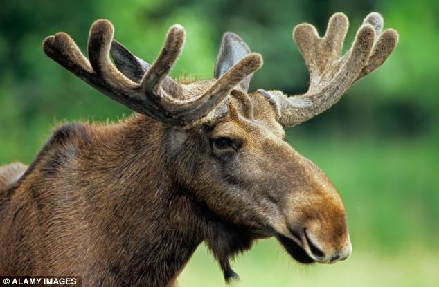 A Norwegian hunter took a shot at a moose but missed, instead hitting a man in his seventies sitting on the toilet