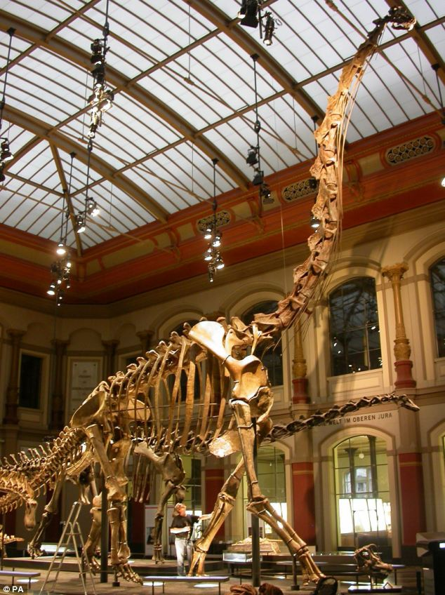Giant: A Brachiosaurus at the Museum at Berlin. Scientists have discovered that dinosaurs could grow so tall compared to modern mammals because they had 'squishier' joints