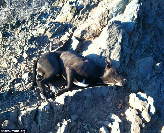 Near death: When Andi found the dog he was collapsed and barely able to move