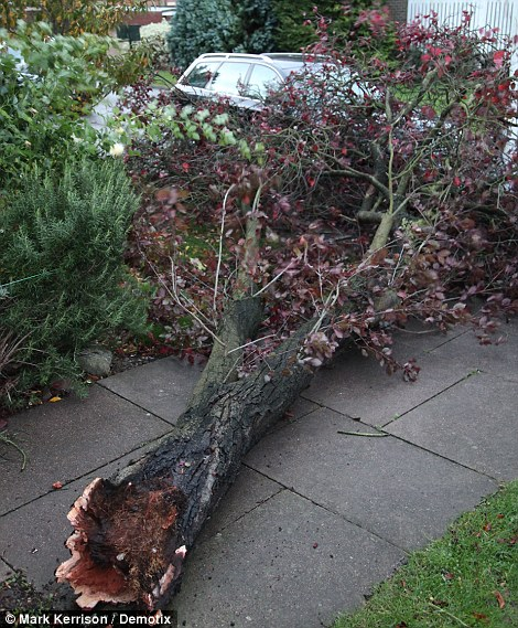 Uprooted: A tree torn from the ground after the night's storms in Windsor, Berkshire