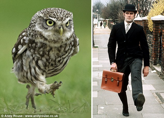The Little Owl (species name) that looks like he's taken a lesson from Monty Python's famous Ministry of Silly Walks