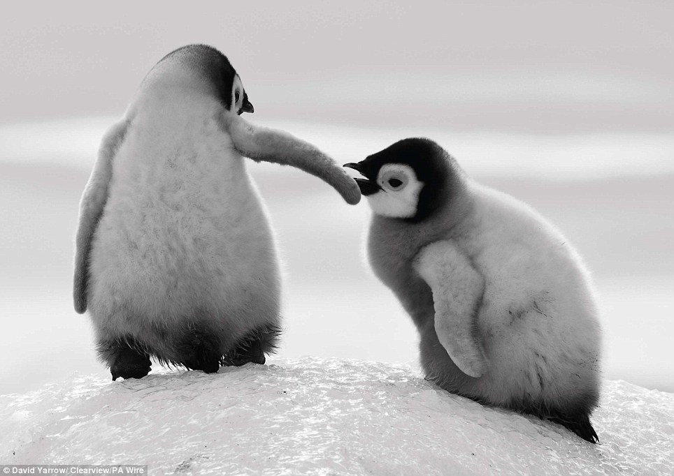 Beautiful moment: Among the images are two baby penguins helping each other climb an icy slope in Snow Hill, Antarctica