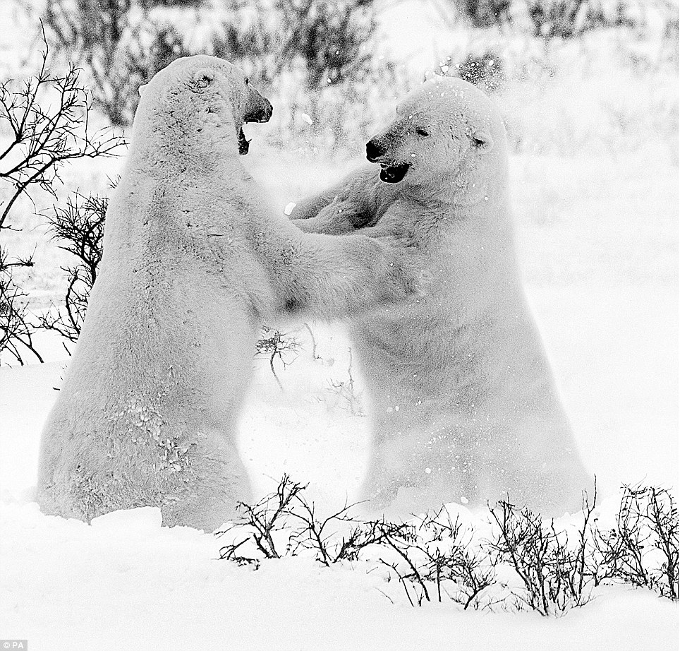 Fighting talk: Among the images in the set by Mr Yarrow are a pair of polar bears confronting each other in Manitoba, Canada