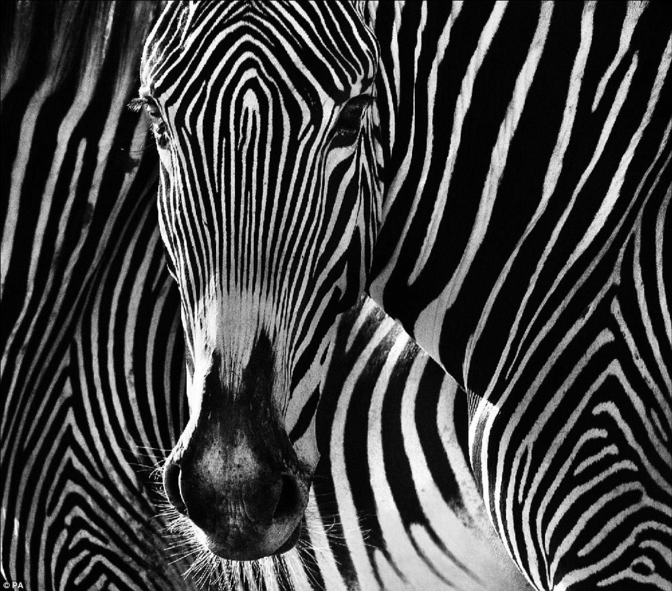 Black and white: Self-taught wildlife photographer Mr Yarrow, who has produced the collection for a new book, took this stunning image of a zebra