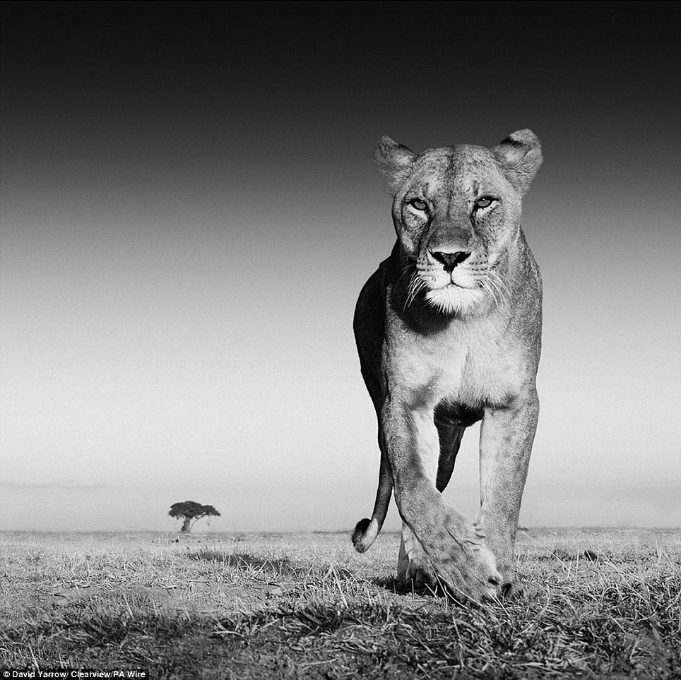 Scary: Scots wildlife photographer David Yarrow even escaped an up close and personal meeting with a lioness on the prairie during his global travels