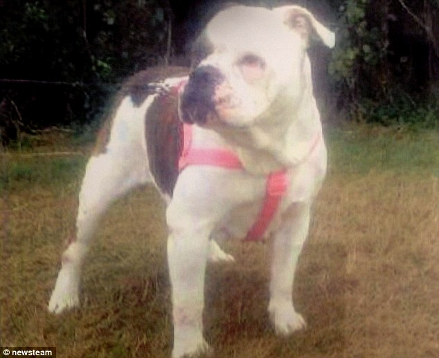 Problematic: The bulldog named Mulan who savaged Lexi had only been with the family a few weeks after being found wondering in a park by a warden and taken to an animal shelter