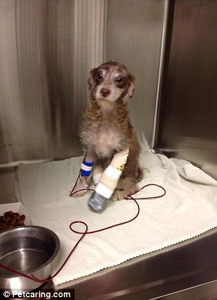 Recovery: Rainy the female brown and tan Maltese and poodle mix is now getting treatment in Houston for her horrific injuries