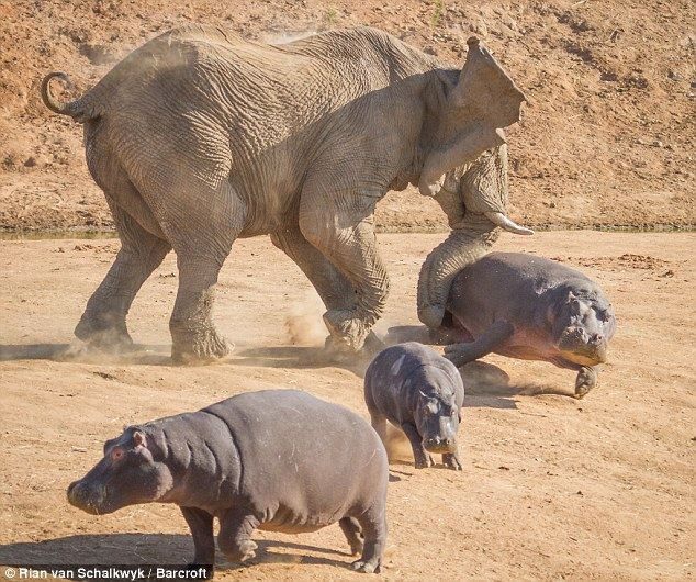 Charge: The hippos got to close for comfort for the elephant who was grazing alongside them happily at first
