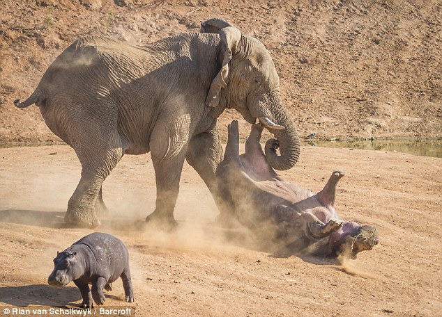 A mother hippo was flipped several feet into the air as she stood her ground against an aggressive elephant bull, giving her calf time to run to safety