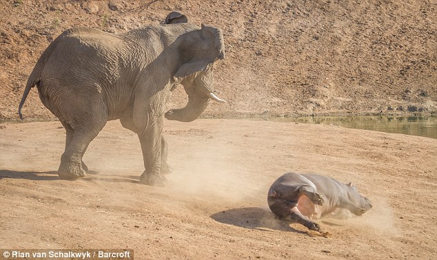 Don't cross him: The hippo rolls after she is flipped into the air by the angry elephant