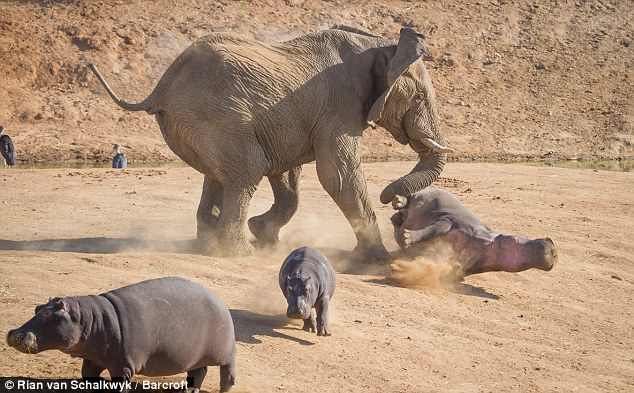 The baby hippos run for safety as the mother takes the full brunt of the force by the elephant