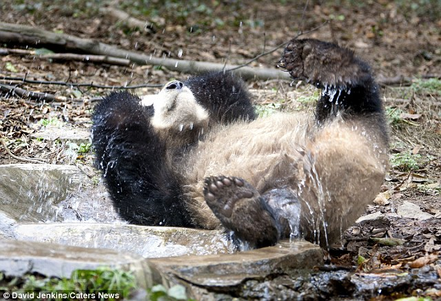 Photographer David Jenkins was on hand to capture the playful panda as he took his lunch break